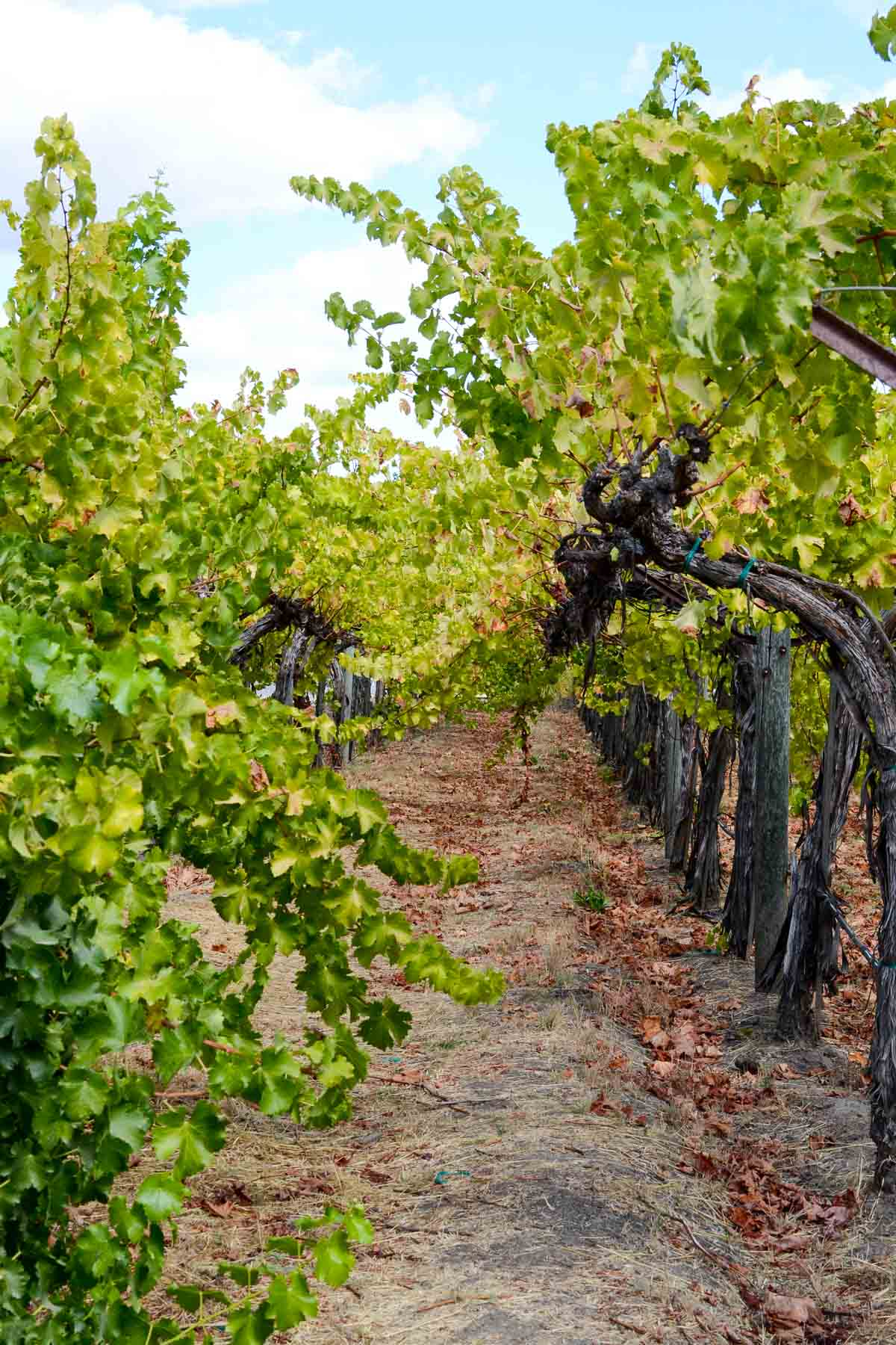 Cakebread Cellars vineyard