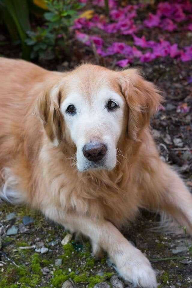 golden retriever on lawn with flowers behind